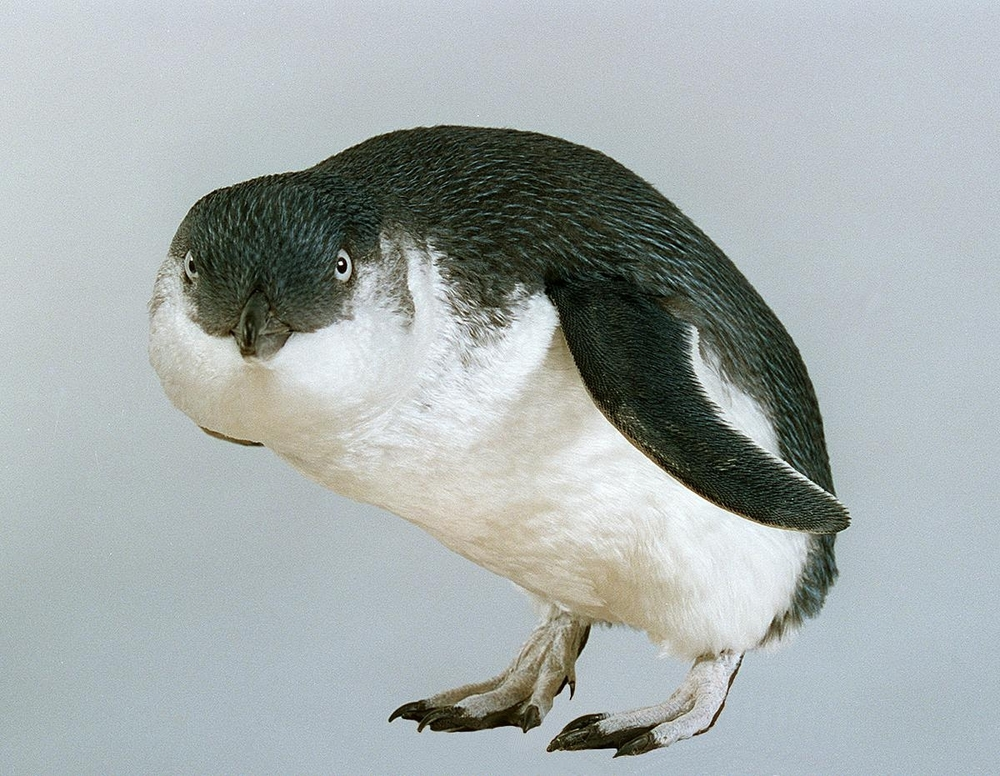 Museum of New Zealand: Little Penguin, Eudyptula minor variabilis, collected 24 Nov 1994, Titahi Bay, Wellington, New Zealand
