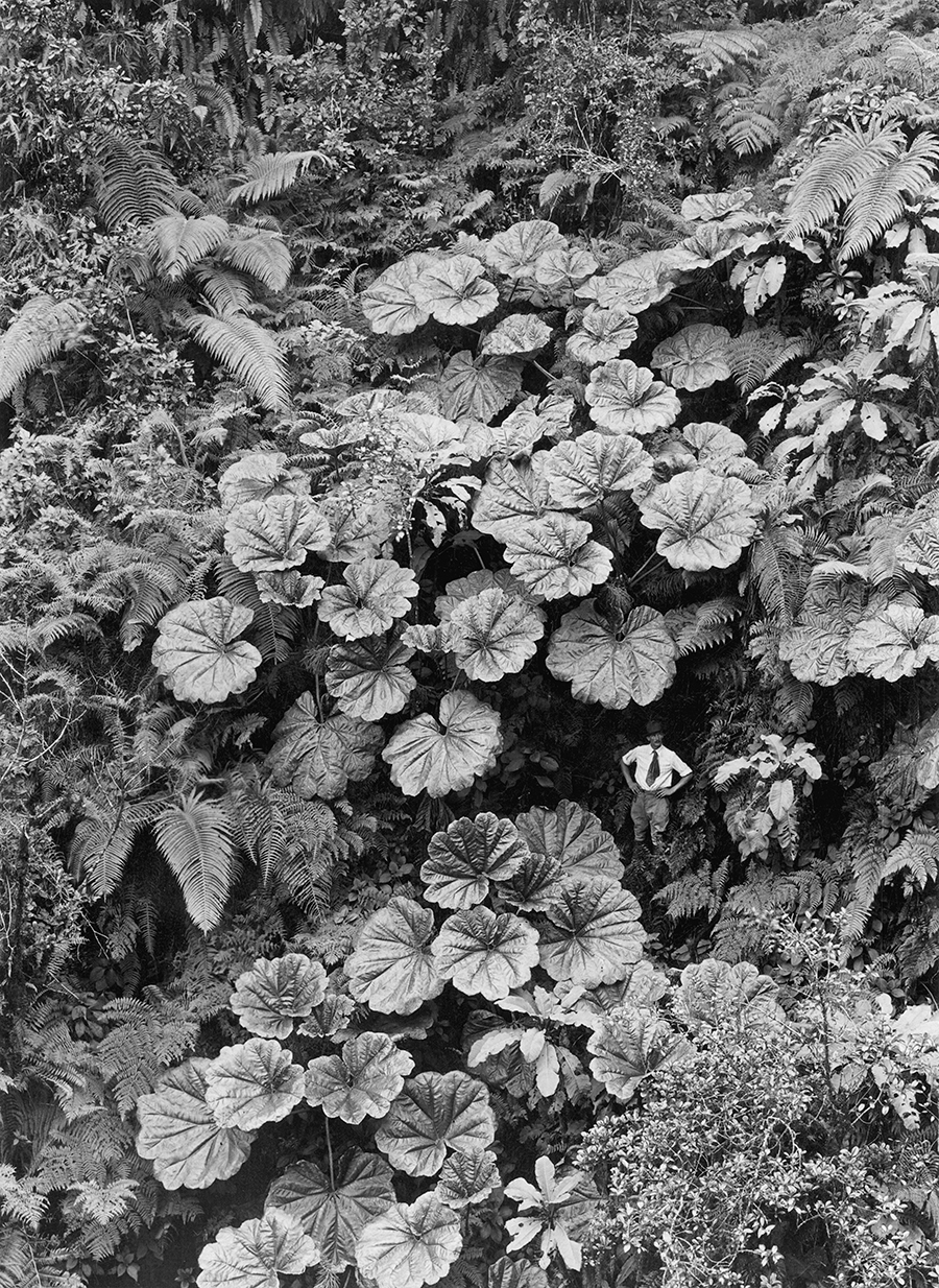 Un uomo sembra microscopico sotto le foglie di Ape-Ape a Maui, 1924\GILBERT H. GROSVENOR, NATGEO CREATIVE