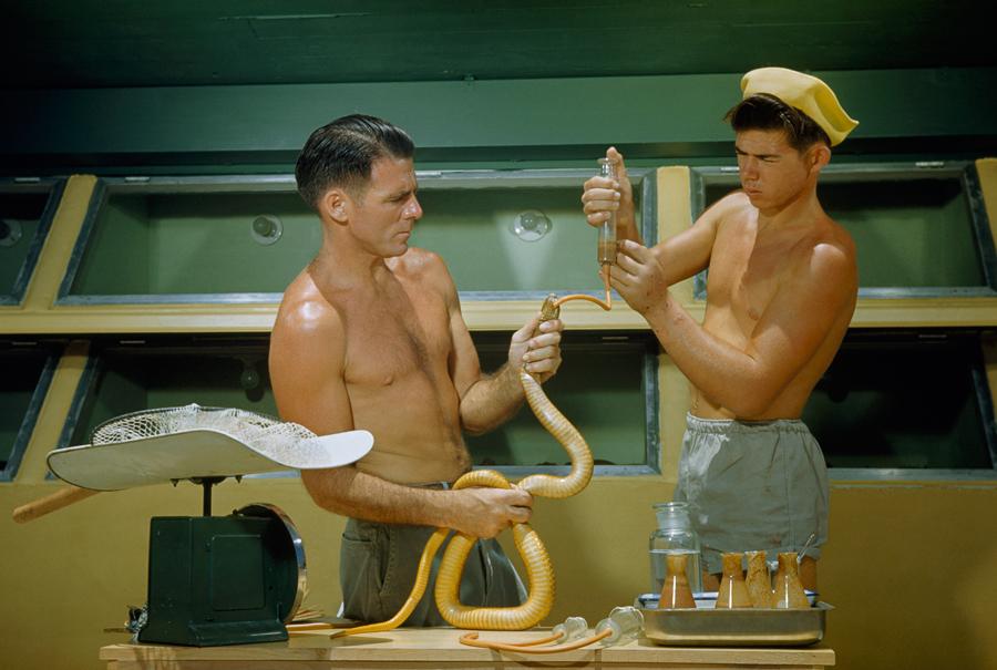 Due uomini estraggono il veleno dai denti di un cobra, 1950\JUSTIN LOCKE, NATGEO