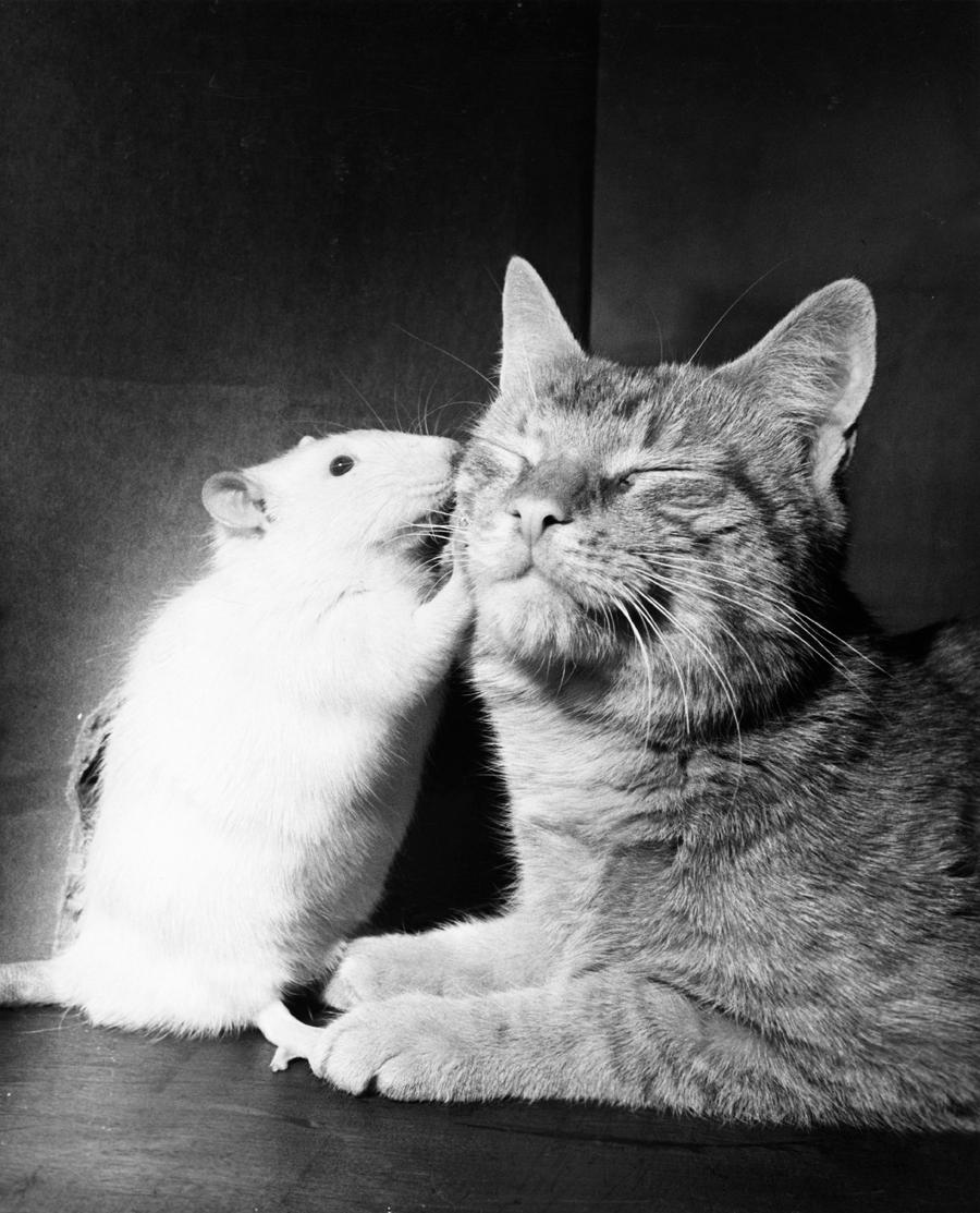 Gatto e topo bianco si fanno le coccole, 1964\WALTER CHANDOHA, NATGEO