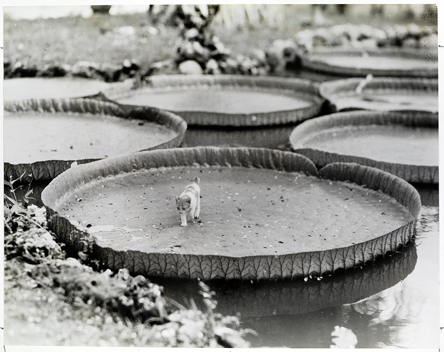 Enormi foglie di Victoria Amazonica nelle Filippine, 1935\ALFRED T. PALMER, NATGEO CREATIVE