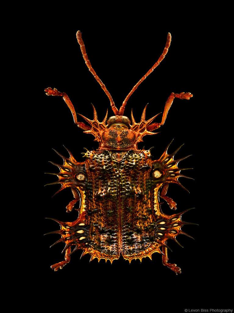 """Levon Bliss, Miscrosculpture, """"Tortoise Beetle"""""""