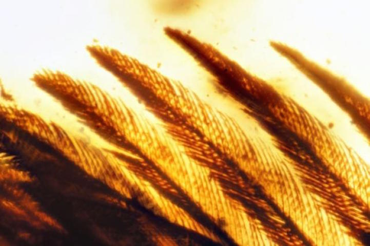 ali-fossili-nell-ambra.jpg
