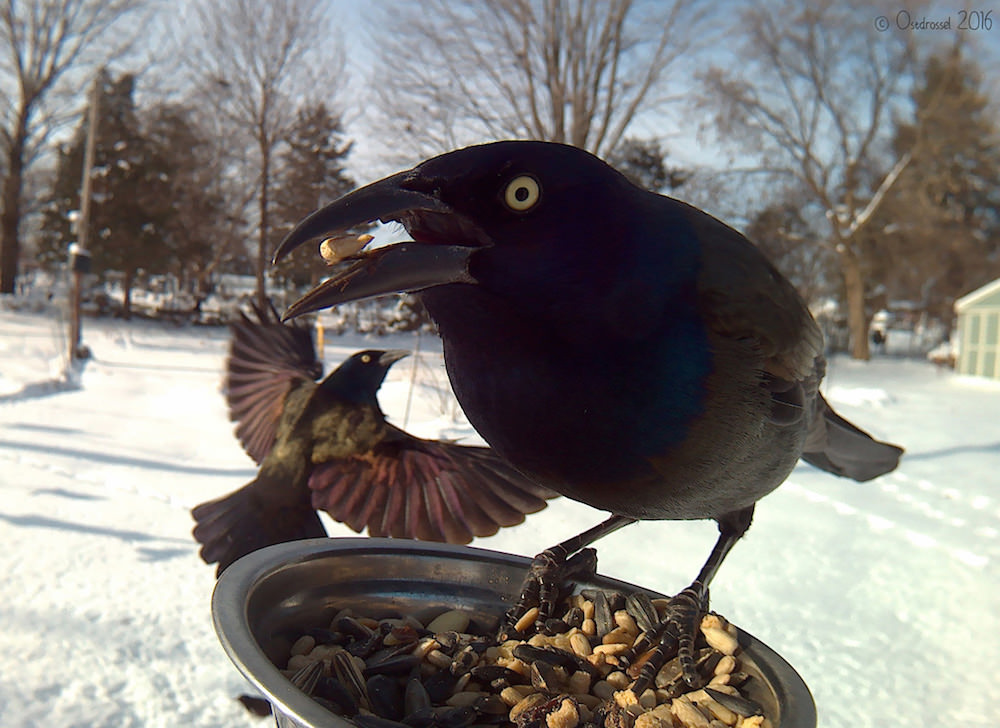 lisa-m-ca-ritratto-corvo