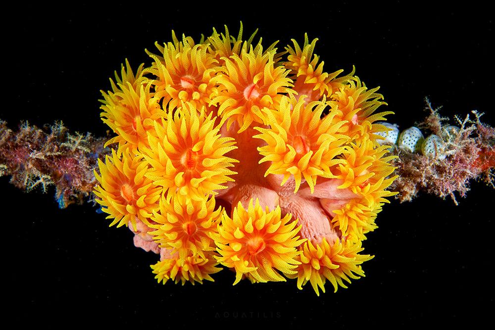 Tubastraea faulkneri –corallo Sun Cup