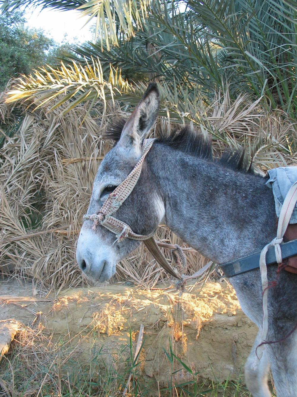 Donkey at Siwa.jpg