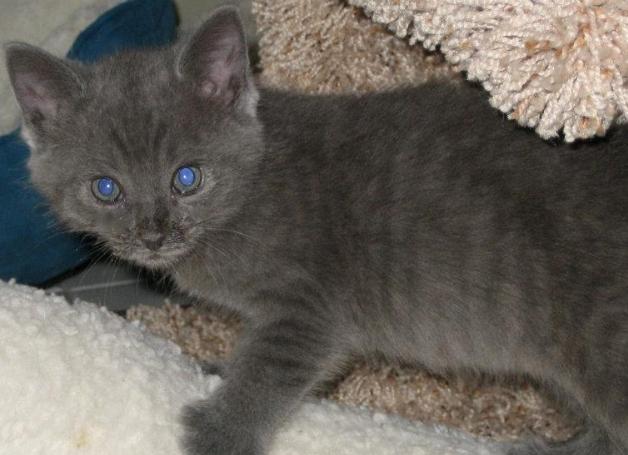 pretty grey tabby kitten.jpg