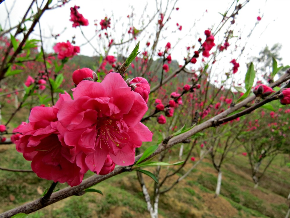 5 Peach Blossoms.jpg