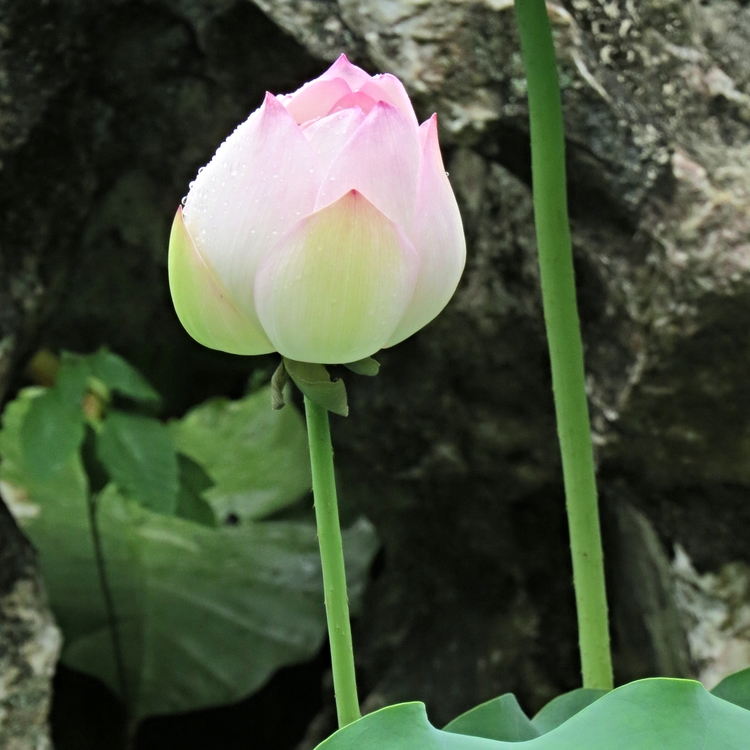 Lotus my own chinese brocade there is often much confusion between the true lotus and the water lily the sacred lotus also known as the indian lotus nelumbo nucifera mightylinksfo