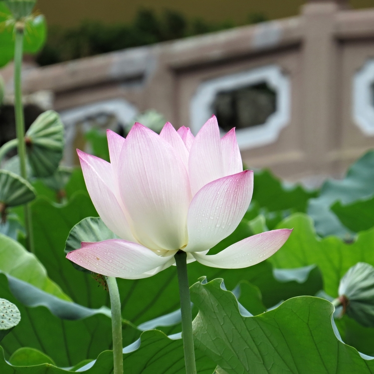 Lotus my own chinese brocade much of this fascination comes from the fact that this stunningly beautiful flower grows out of muddy murky water we as humans like to compare ourselves mightylinksfo