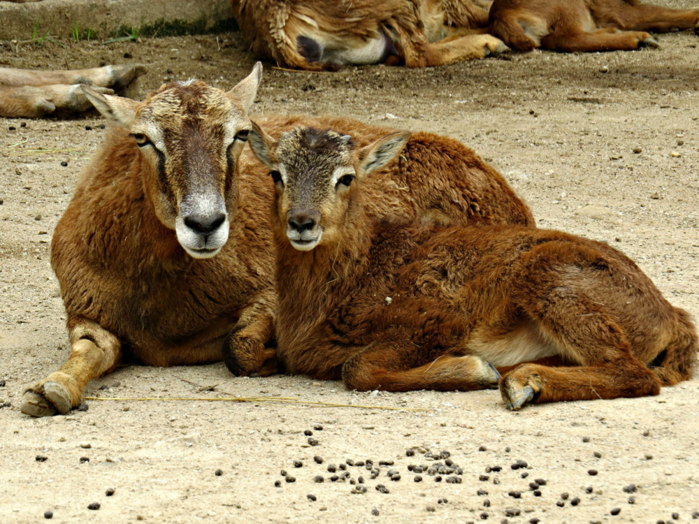 Mouflon (wild sheep) ewe and baby