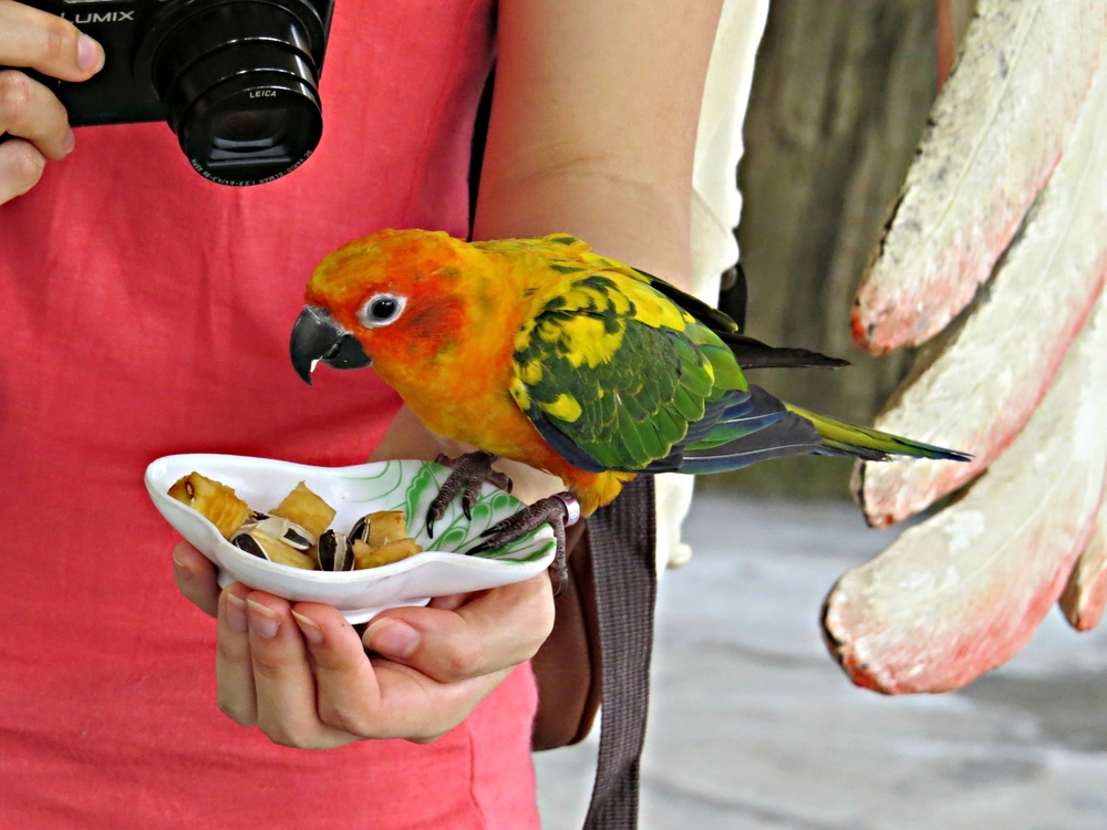 Sun parakeet or sun conure