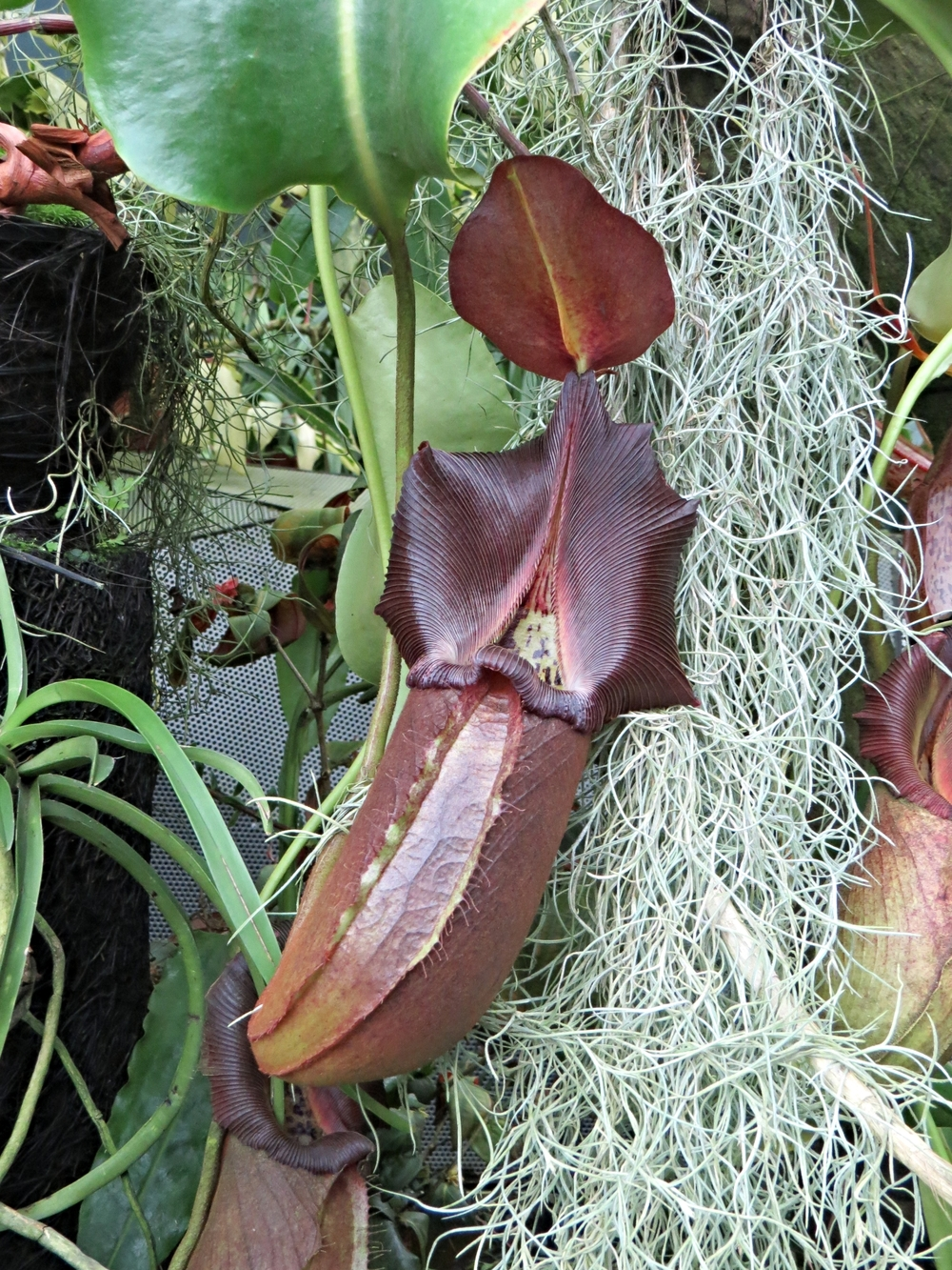 One species of Pitcher plant