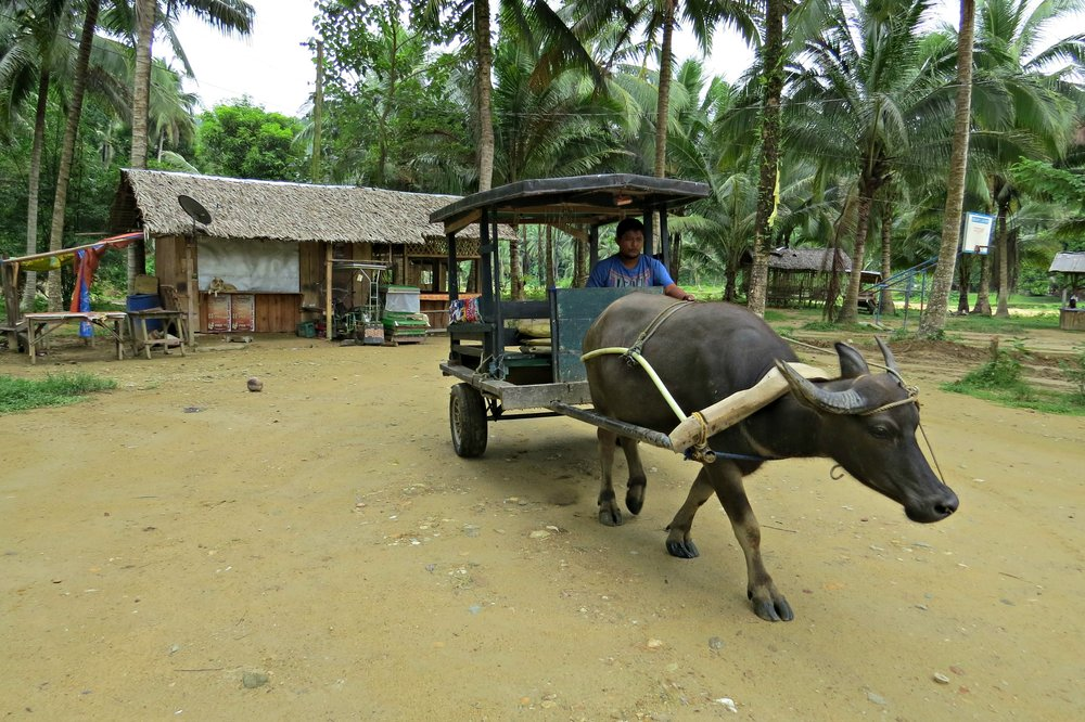 Our carabao cart and driver