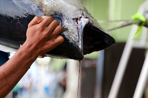 stop-eating-unsustainable-fish-tuna-blue-the-film