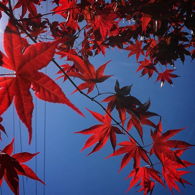 Red #colors #maple #garden #nature #plants #home #japanesestyle