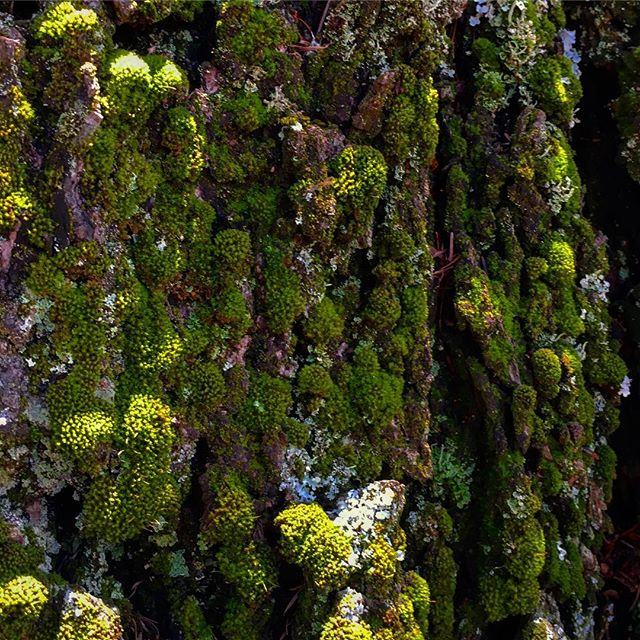 Look closer #details #bark #tree #texture #nature #natural #scale #lichen #breathing #california