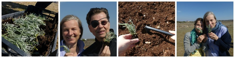 YL Farm Croatia, April 2015; happily planting Helichrysum