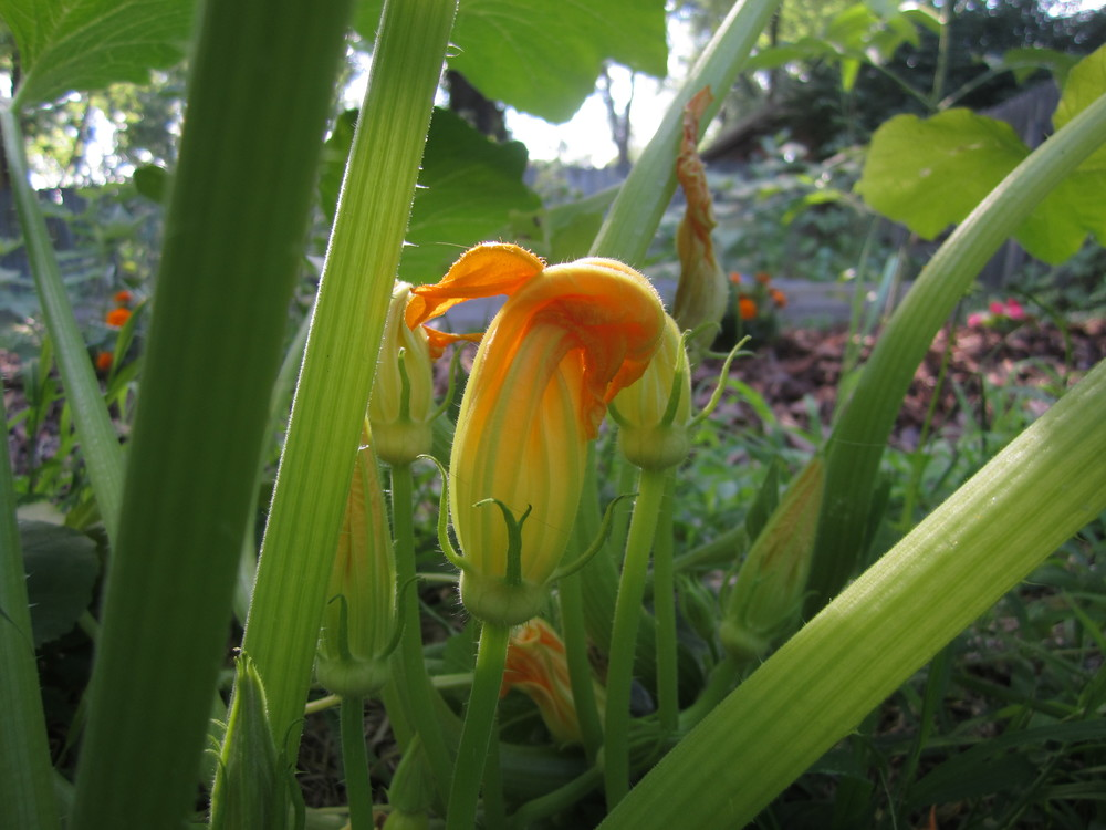A squash plant blooms in our backyard garden. Photo by Brooke.