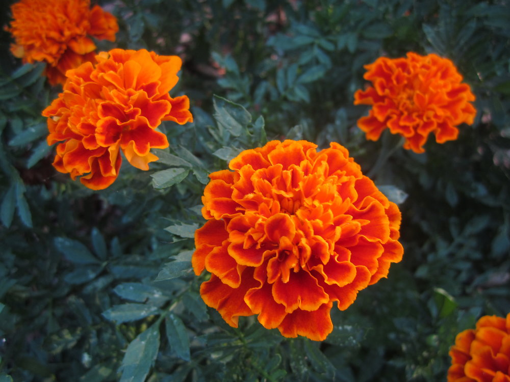 farming-career-marigolds
