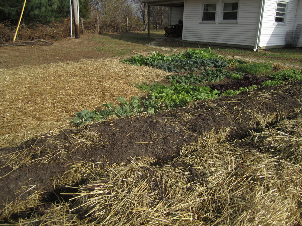 Two lasgana beds side by side, both waiting for more compost on top.
