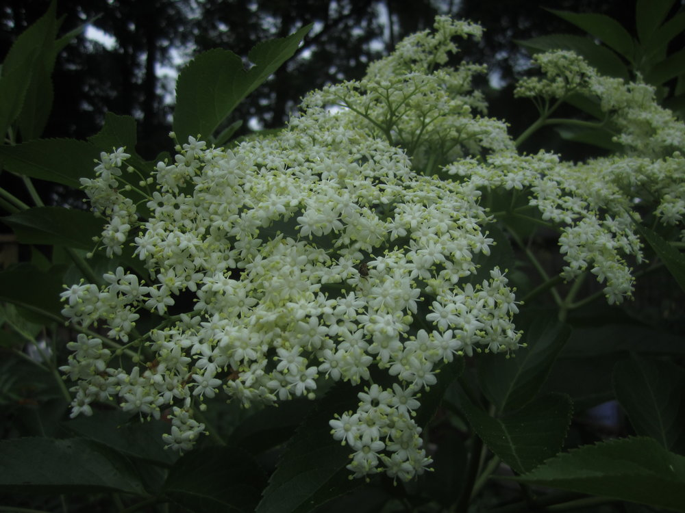 Elderflowers. Photo by Brooke.