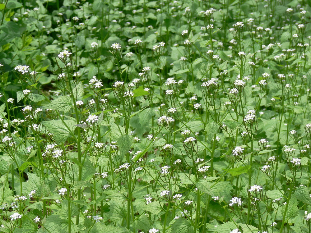 Garlic mustard. Photo by Ann and Peter Macdonald.