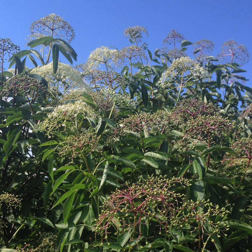 elderberry-sambucus