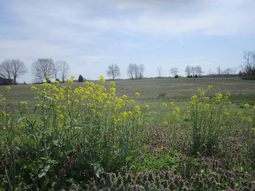 field-mustard.JPG
