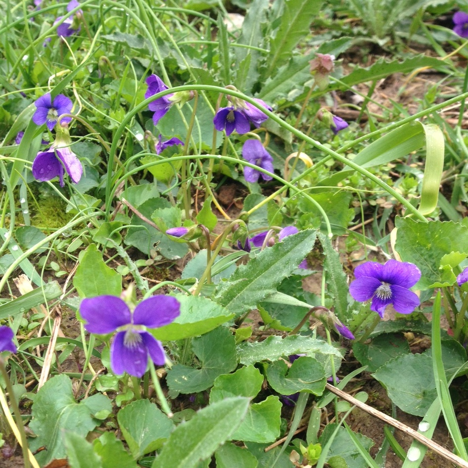 Spring Foraging Wild Edible Flowers Greens And Shoots Good Life