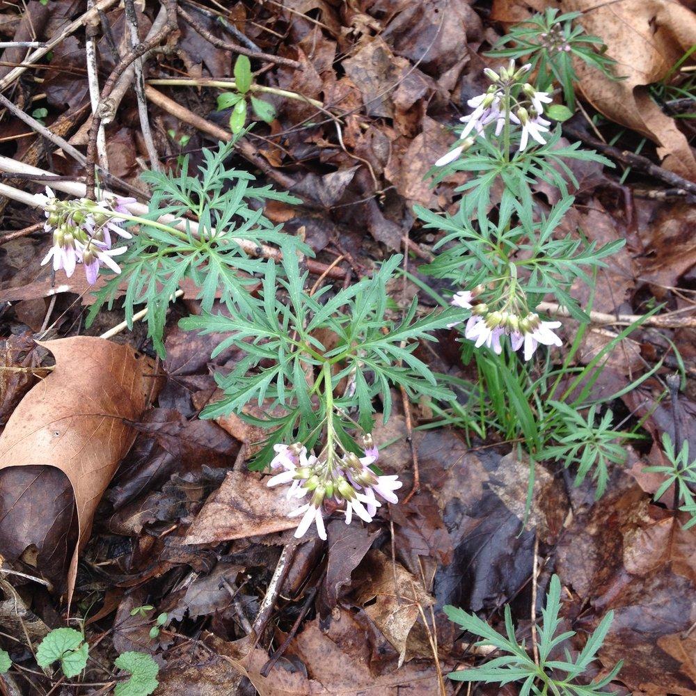cutleaf-toothwort-edible-flower