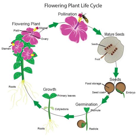 plant-life-cycle-basic.jpg