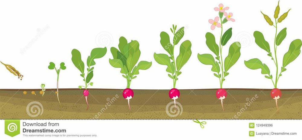 radish-life-cycle-consecutive-stages-growth-seed-to-flowering-fruit-bearing-plant-radish-life-cycle-consecutive-stages-124949396.jpg