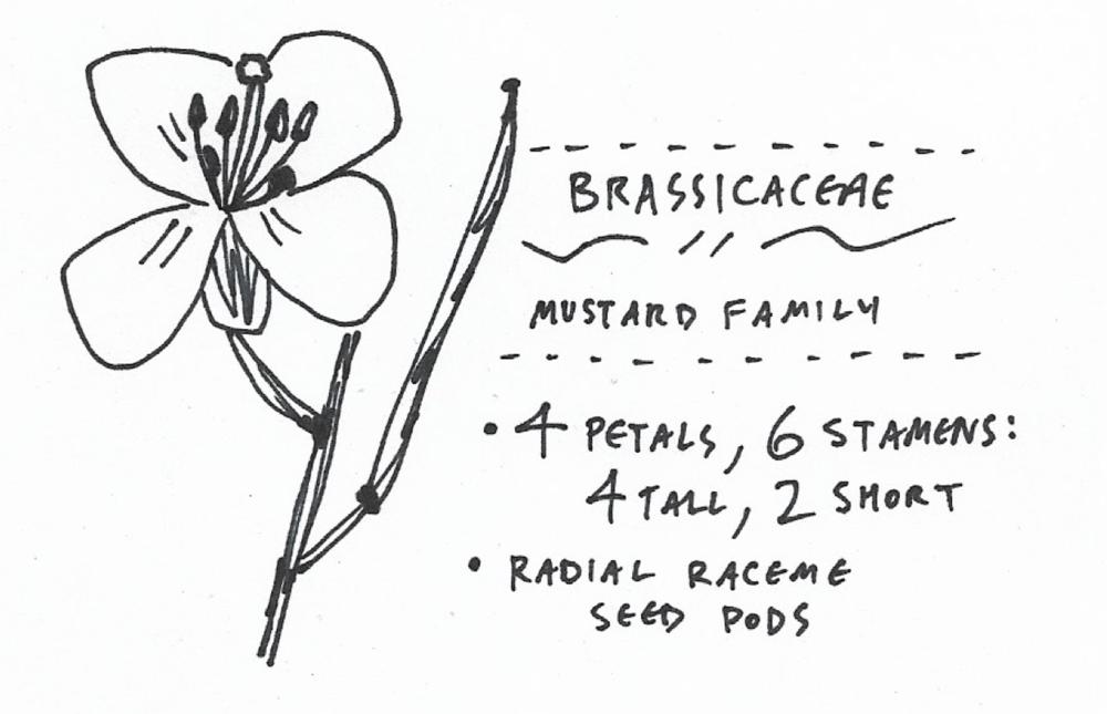 brassicaceae.png