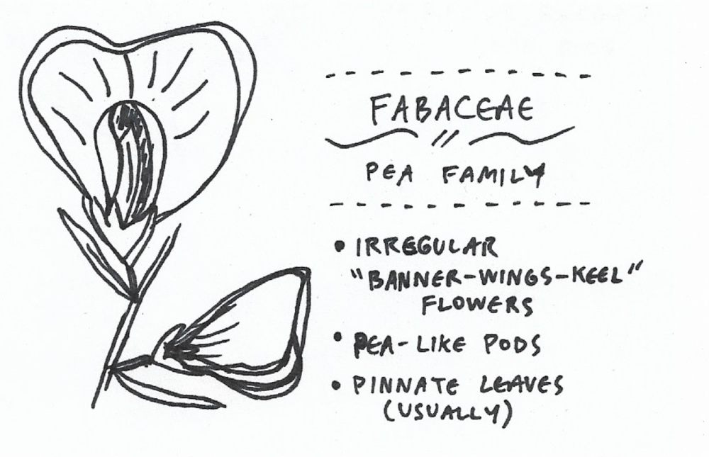fabaceae.png