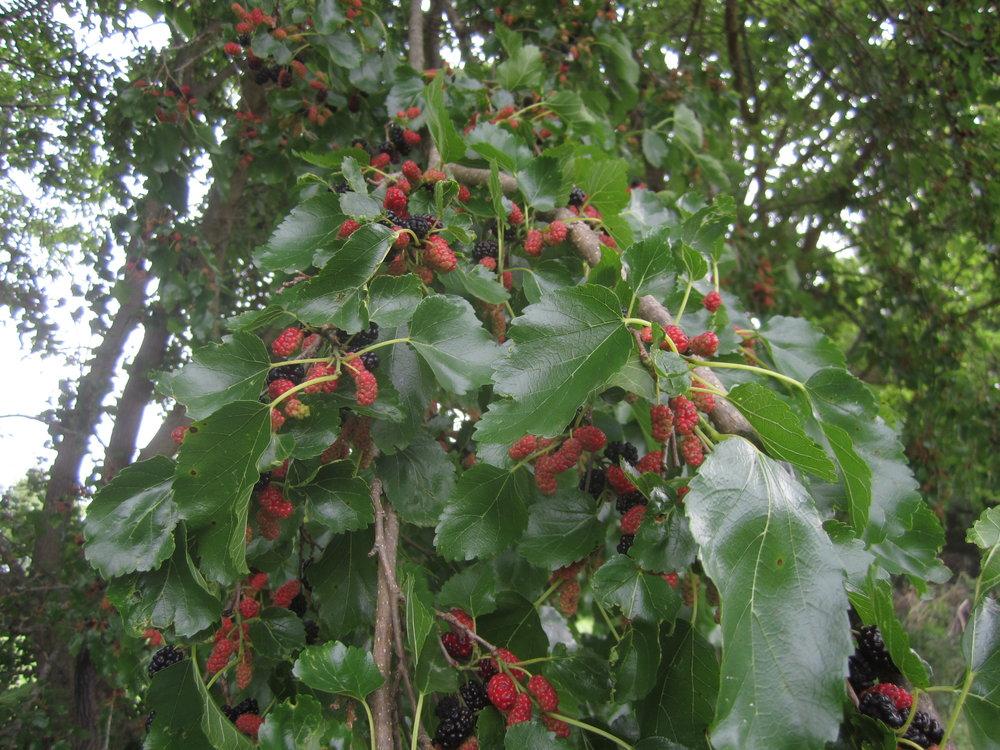 mulberries-4.JPG