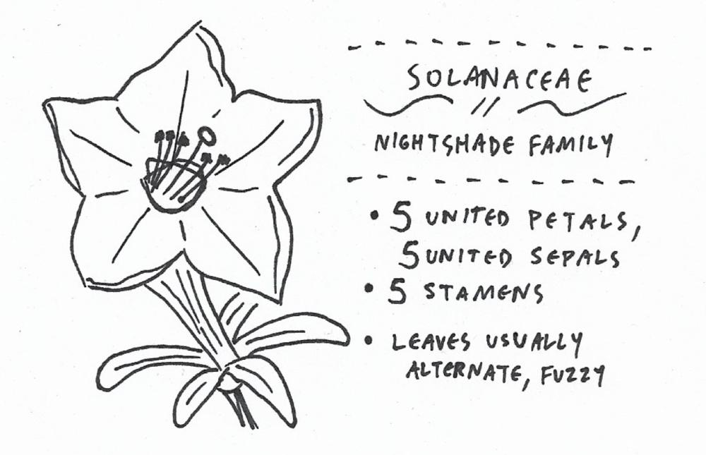 solanaceae.png