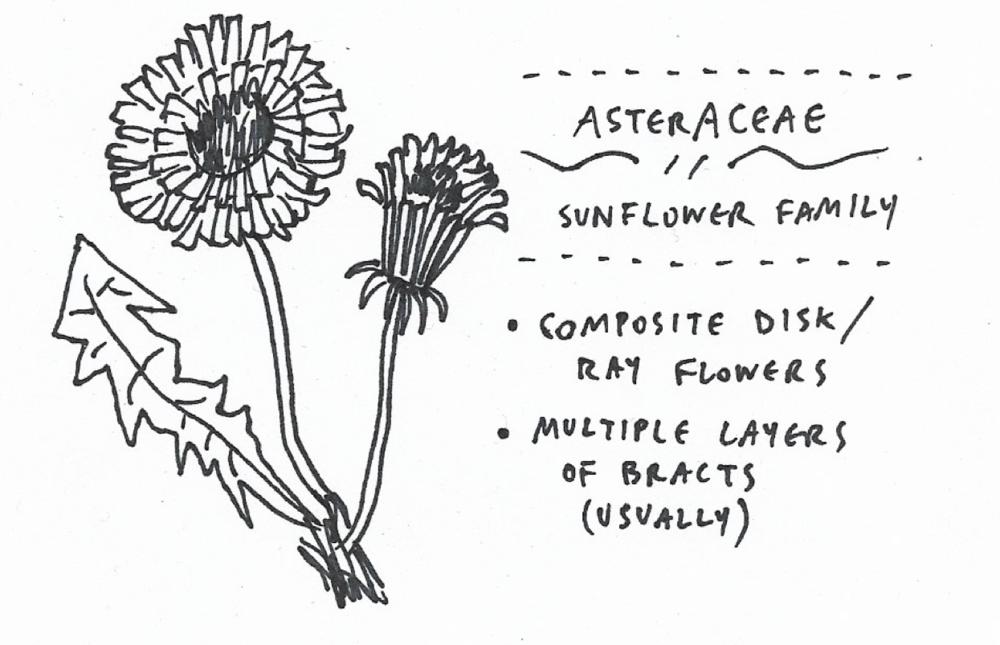asteraceae.png