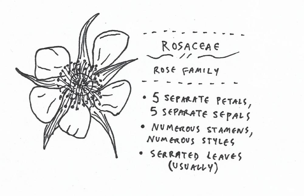 rosaceae.png