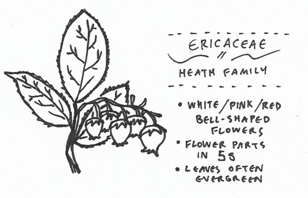 ericaceae.png
