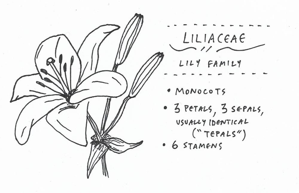 liliaceae.png