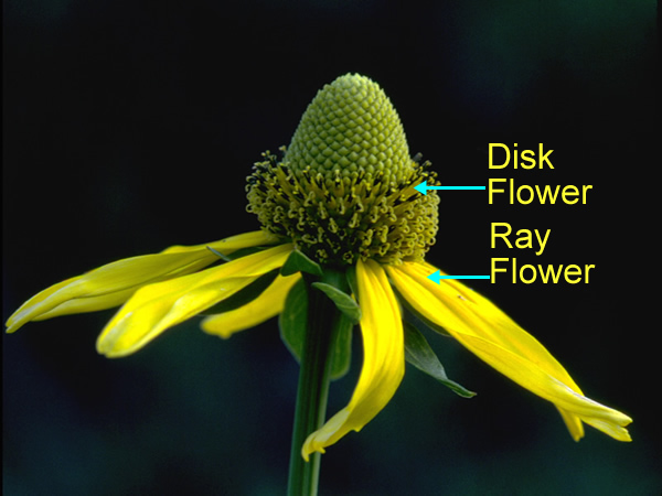 """This is not """"a"""" flower! It is a compound inflorescence comprised of many modified flowers."""