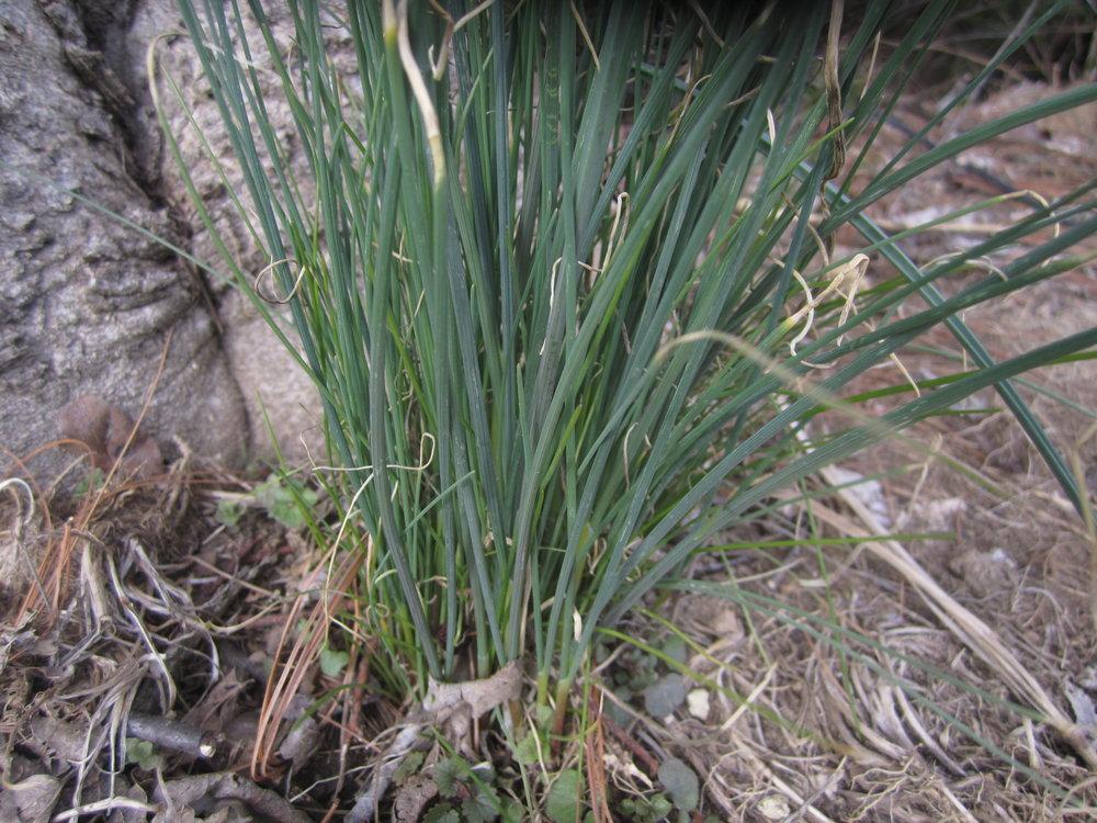 field-garlic-1.JPG