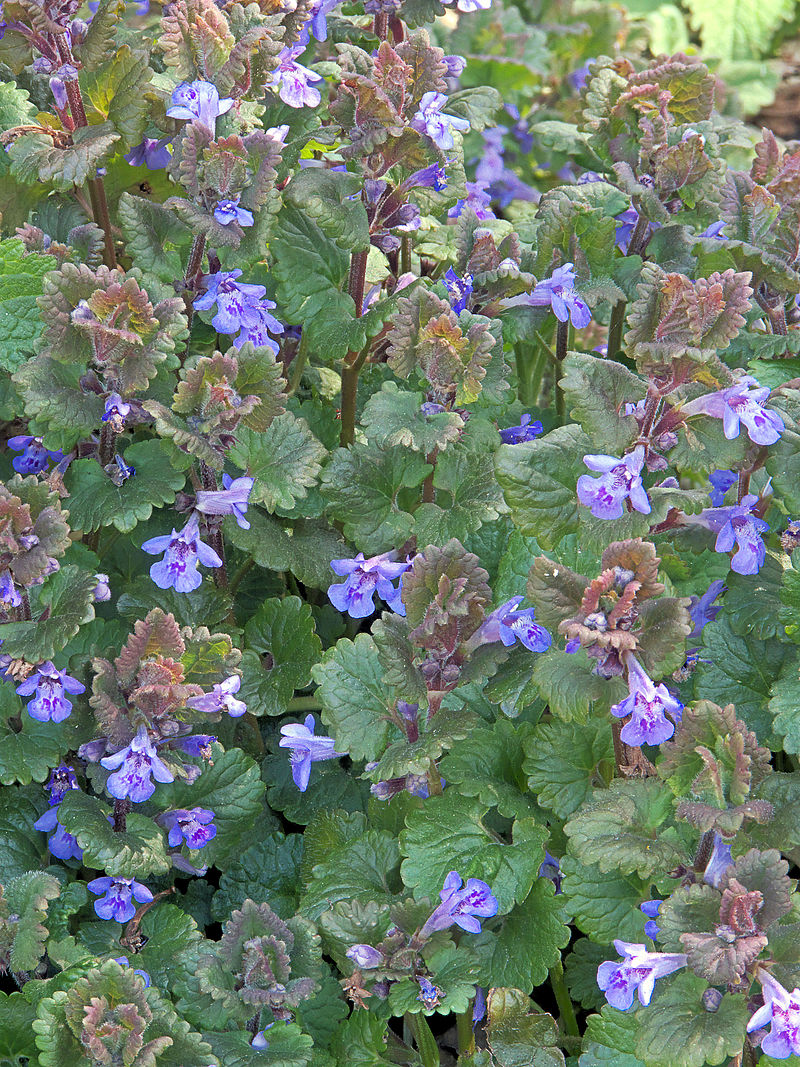 Glechoma hederacea.  Photo: Rasbak via Wikimedia Commons