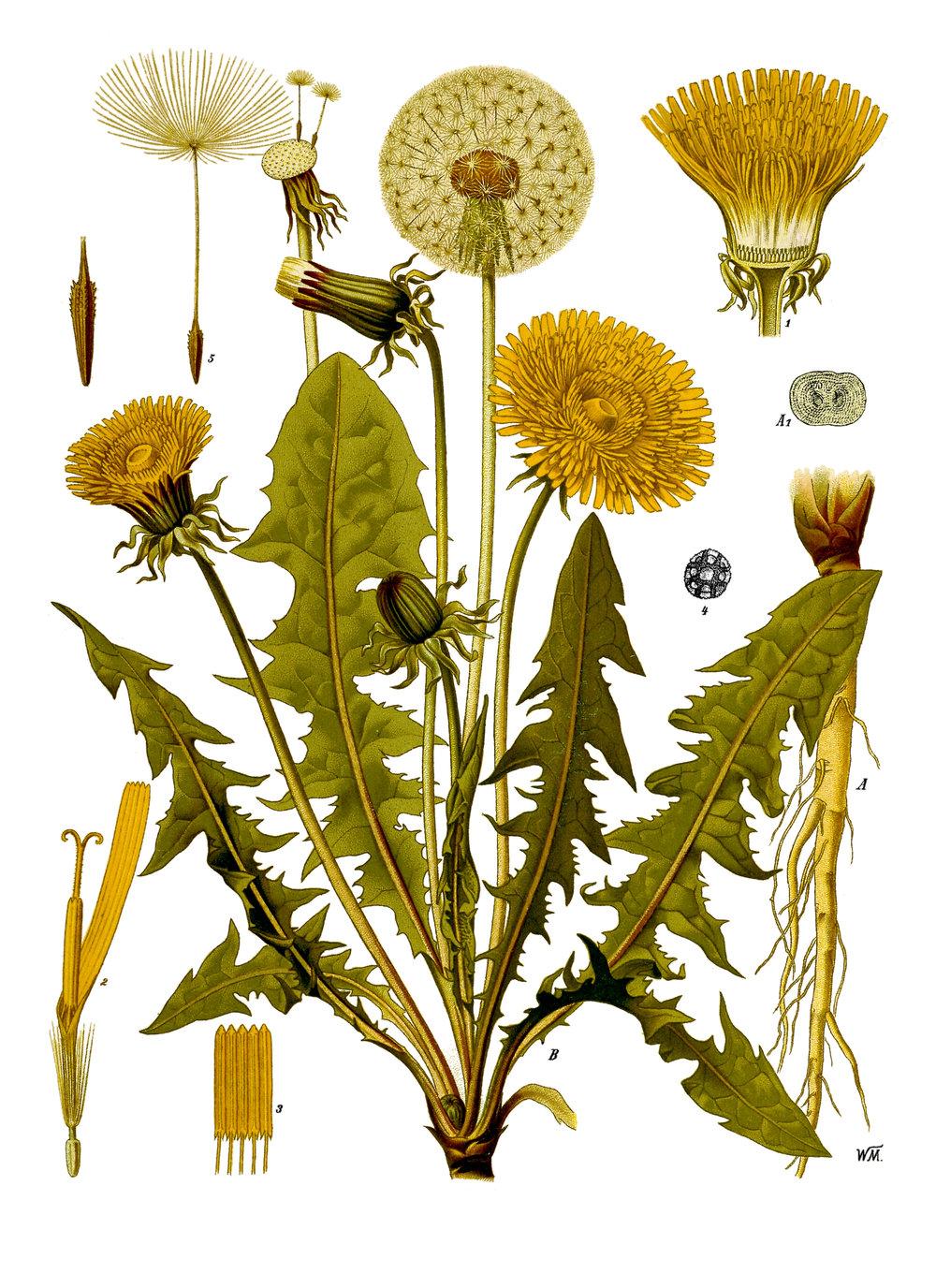 Taraxacum officinale . From Köhler's  Medizinal-Pflanzen,  1883