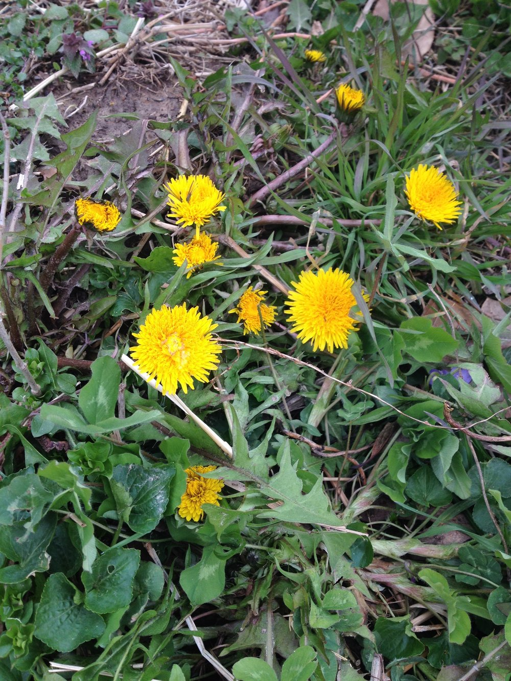 dandelions-winter.jpg