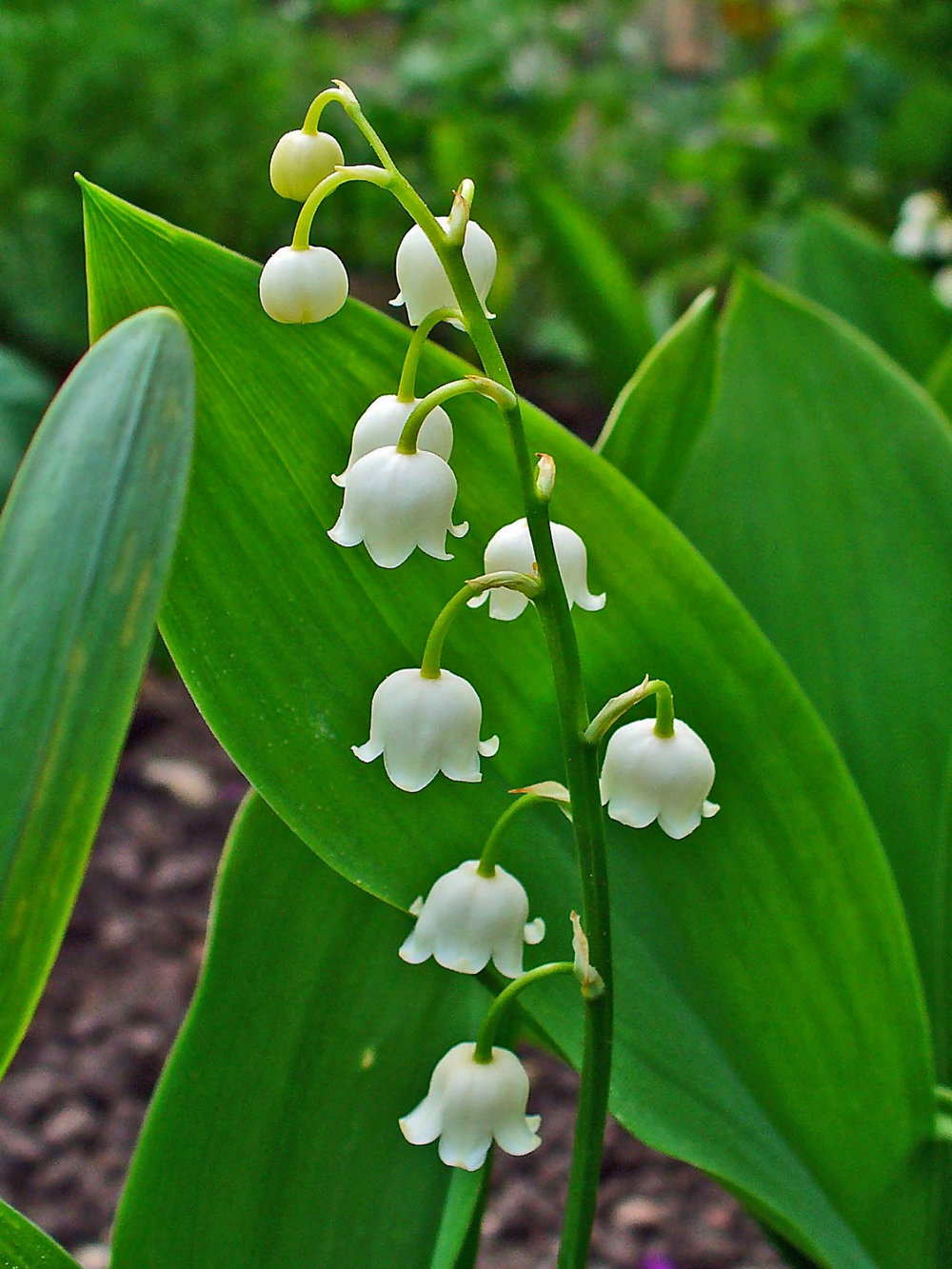Lily of the valley,  C. majalis  -  H. Zell on Wikipedia