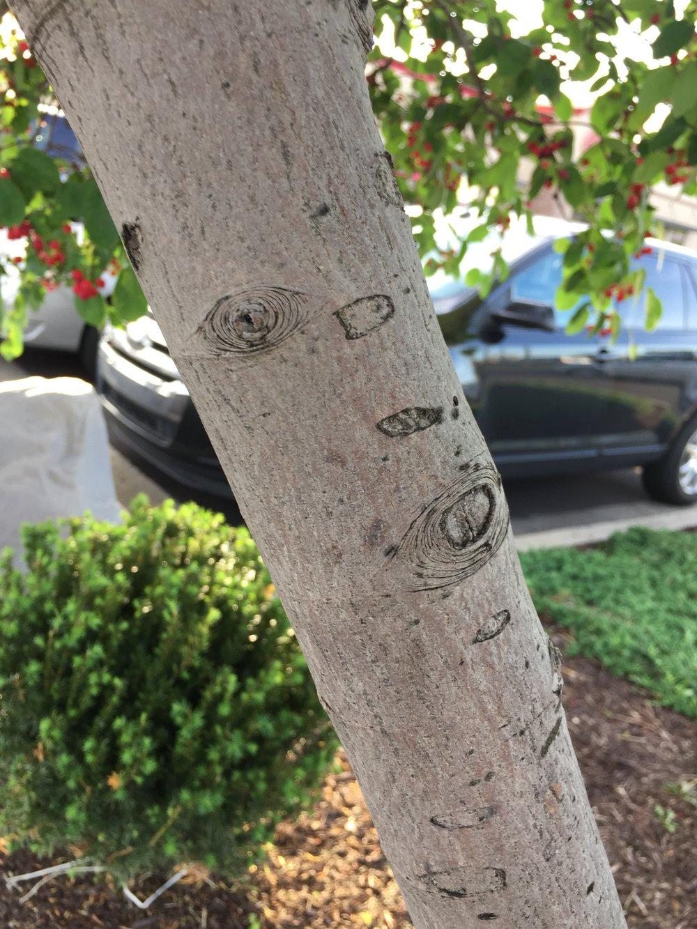 The smooth gray bark of an ornamental serviceberry bush.