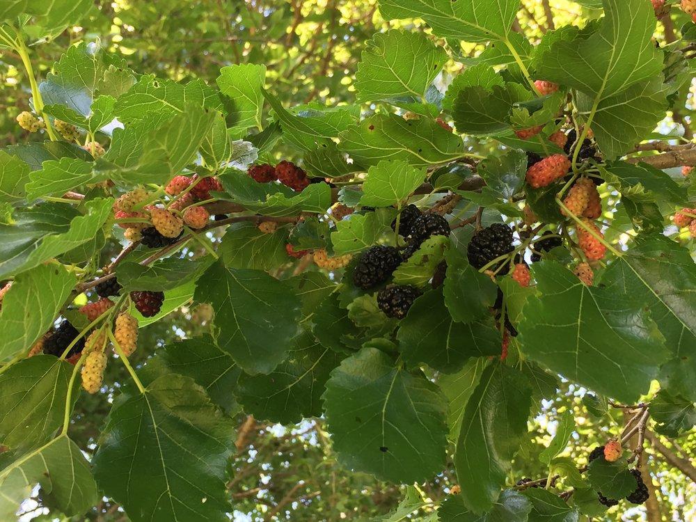 mulberries-3.JPG