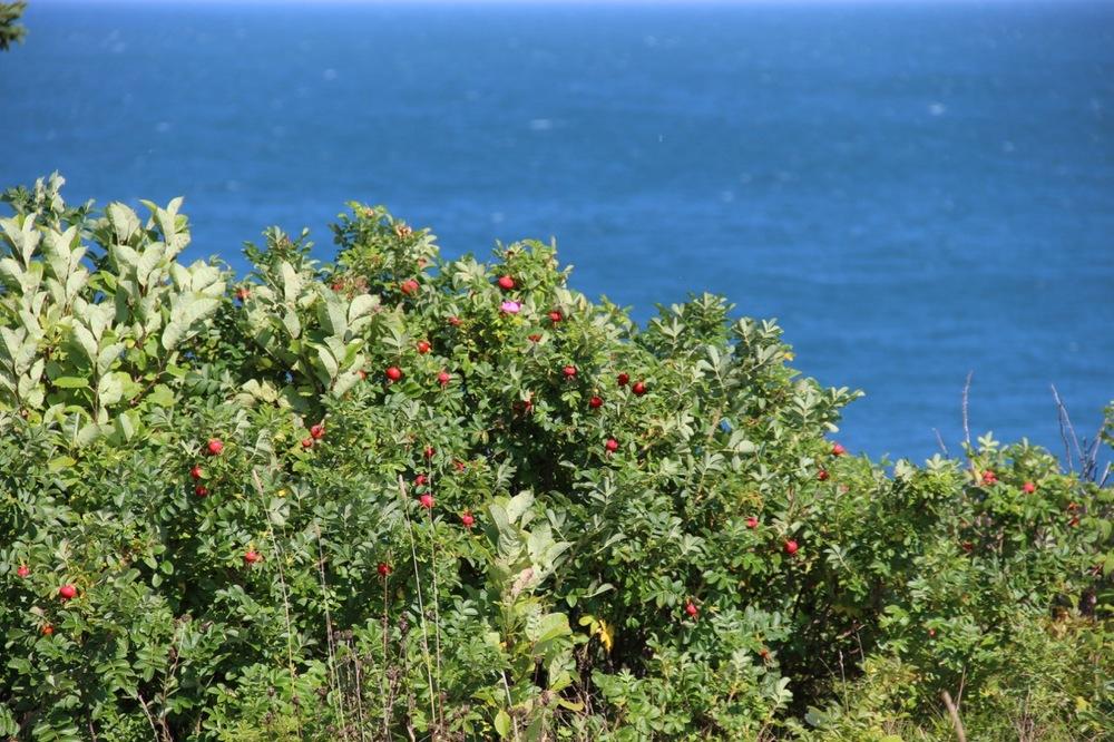 Trail berries on the High Cliff Cove Trail in Digby Neck, Nova Scotia
